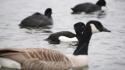 Tufted ducks on the water