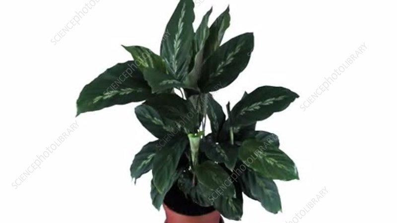 Prayer plant growing, timelapse