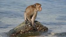 Macaque using tool