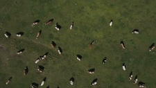 Drone flying over cows in field