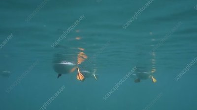 Atlantic puffins swimming, from below
