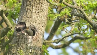 Common starling feeding its chick