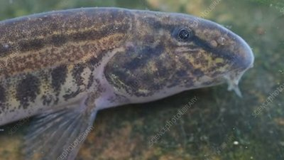 Spined loach underwater