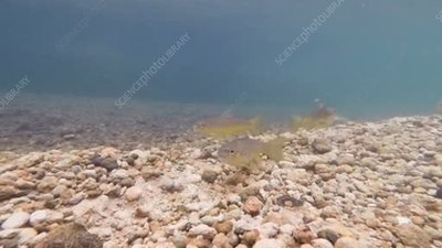 Brown trout digging in pebbles
