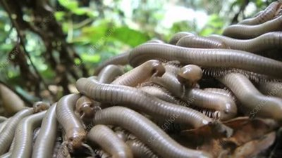 Swarm of young noodle millipedes