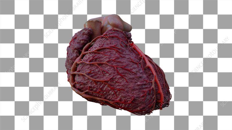 Coronary arteries, left anterior descending artery - Stock ...