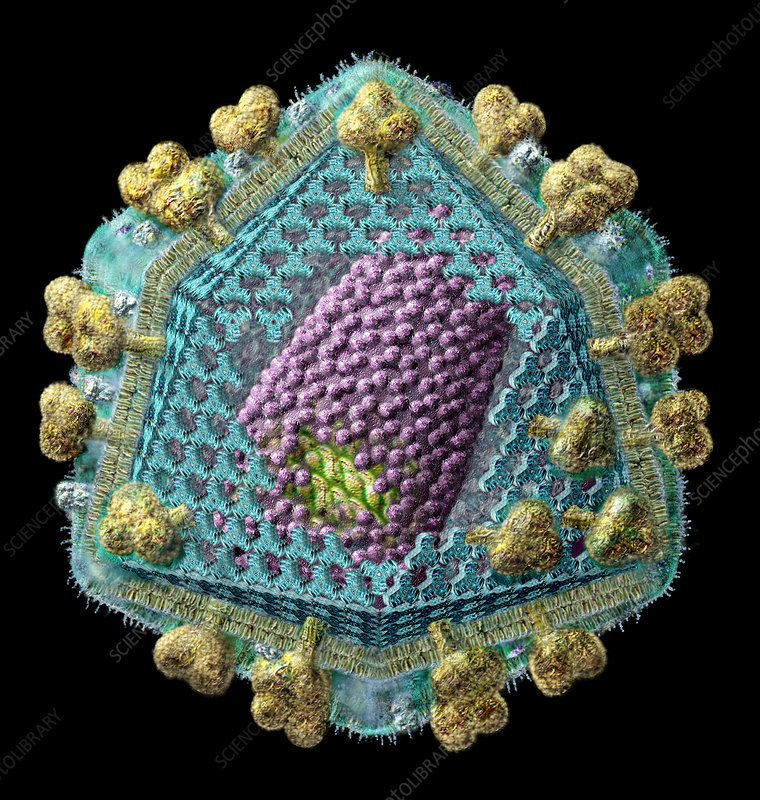 AIDS virus particle internal structure