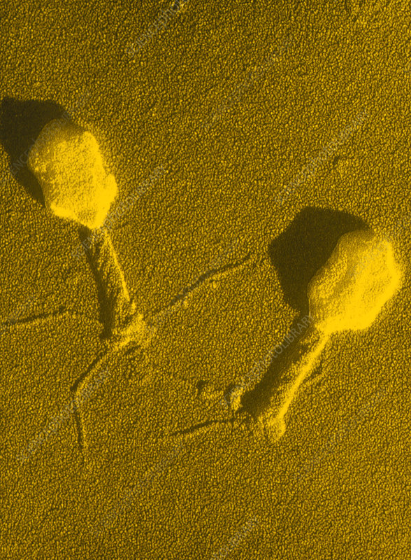 TEM T4 bacteriophage