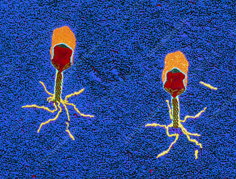 T-bacteriophages attacking E. coli, TEM
