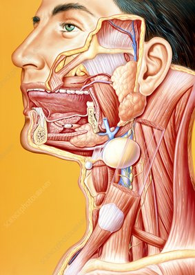 Artwork of mouth/neck: tumour, cyst, duct calculus