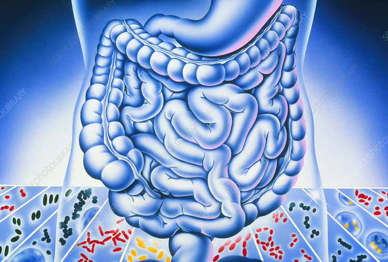 Artwork of digestive system and harmful bacteria