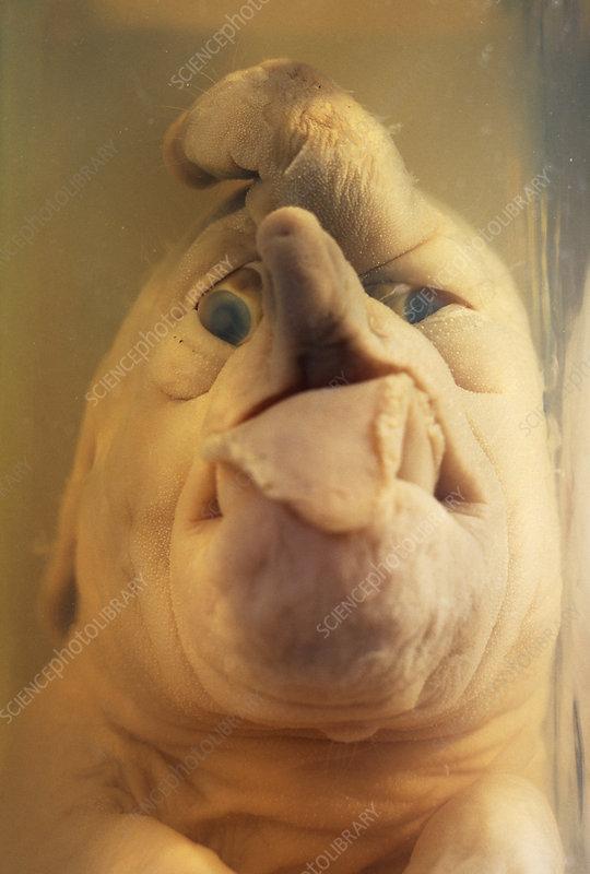 deformed dog foetus - stock image m350  0279