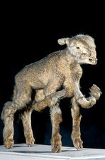 Lamb with polymelia birth deformity