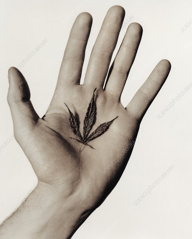 Cannabis leaf in a hand