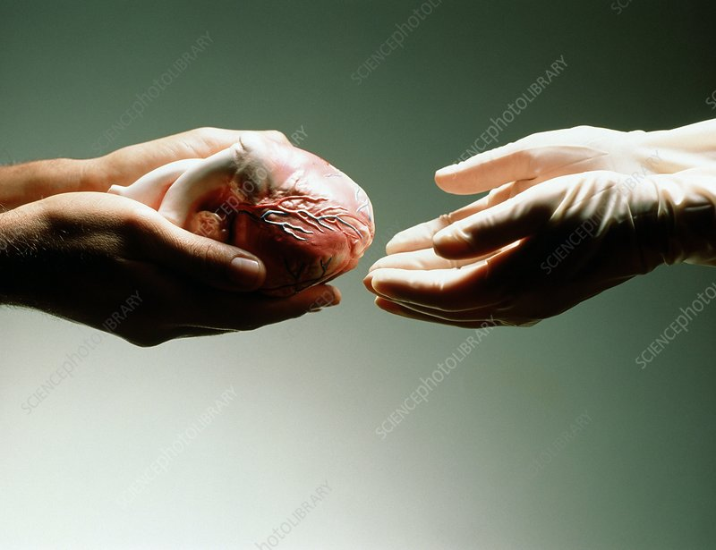 Heart donation abstract: hands receive a heart