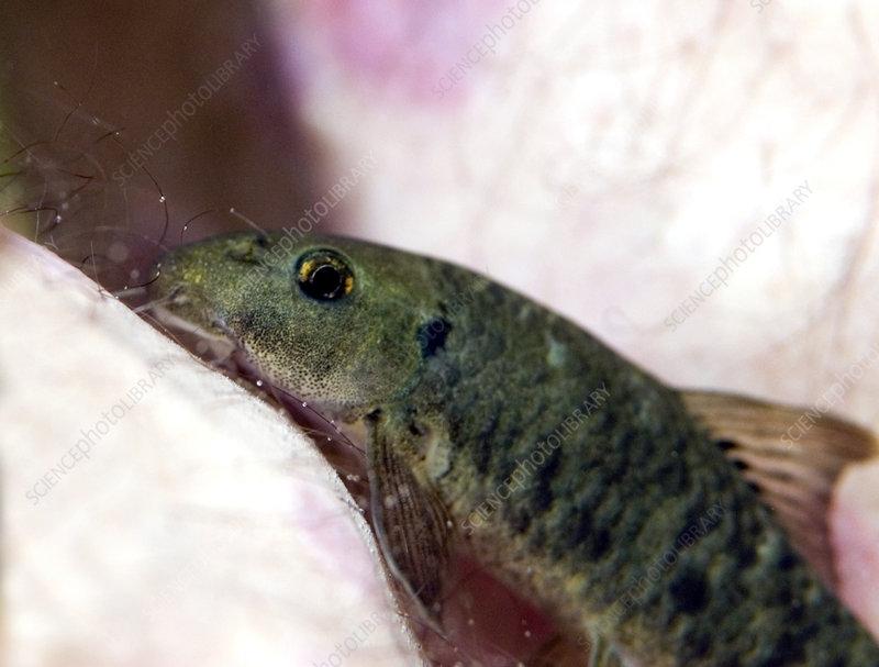 Licker fish
