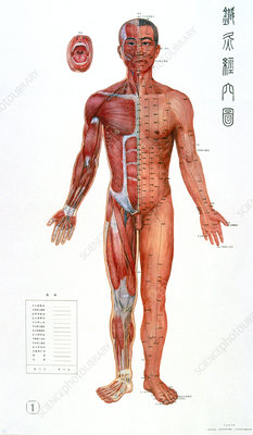 Traditional Chinese acupuncture chart