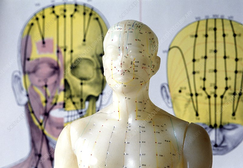 Acupuncturist's model showing meridians