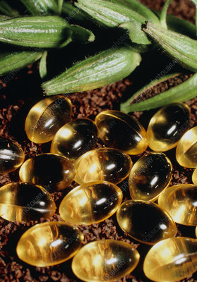 Gelatin capsules of the oil of evening primrose