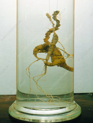 Korean ginseng roots, a Chinese herbal medication