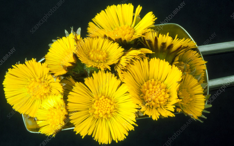 Coltsfoot flowers