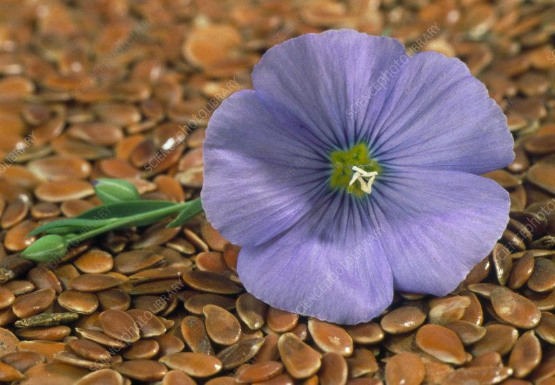 Common flax