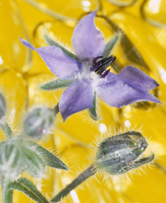 Borage flowers and oil capsules