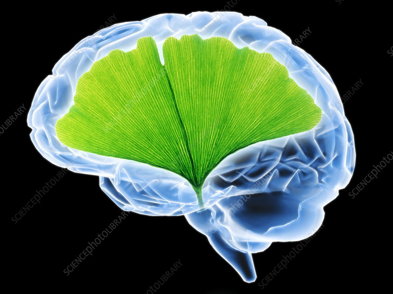 Ginkgo and human brain
