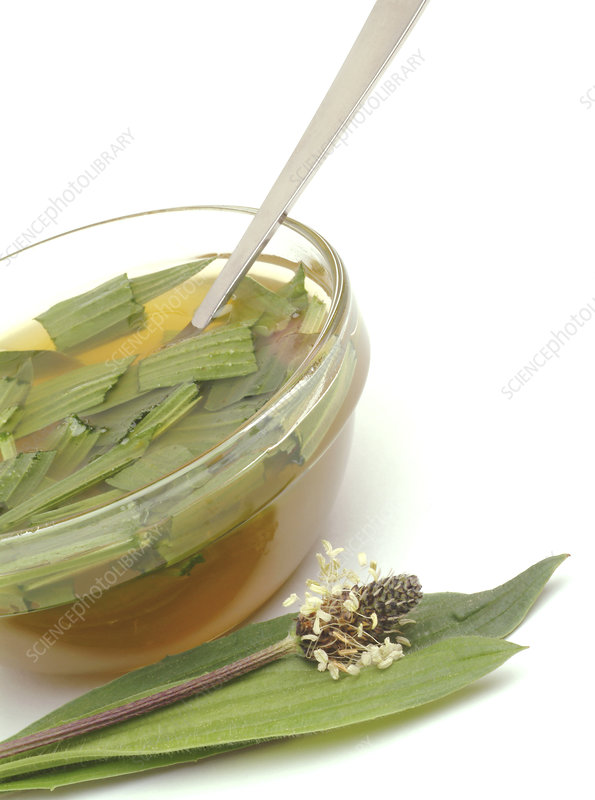 Ribwort plantain infusion