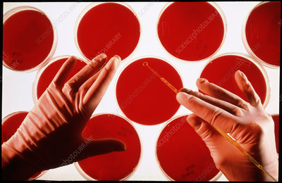 Researcher inoculates blood agar plates with virus