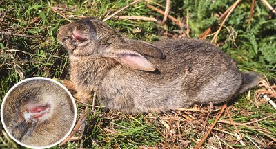 View of a rabbit with myxomatosis