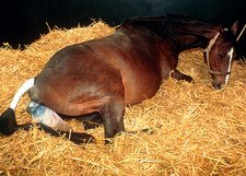 Mare giving birth to a foal