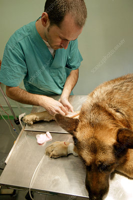 Preparing a dog for surgery