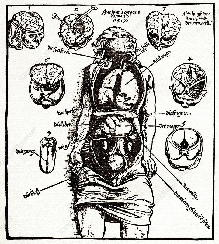 Internal anatomy, 16th century diagram - Stock Image N050/0071 ...