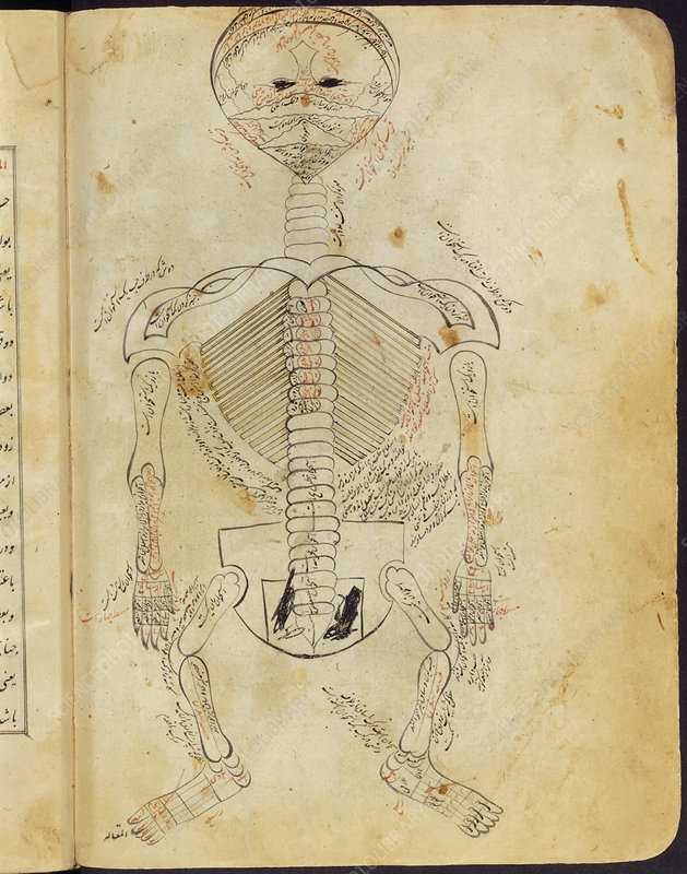 15th century drawing of the skeletal system.
