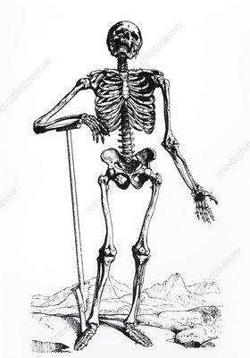 Engraving of the human skeleton