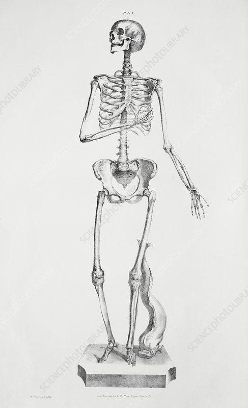 Female Abdominal Anatomy Artwork Stock Image C0096568