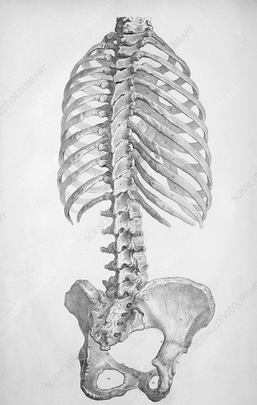 Torso bones