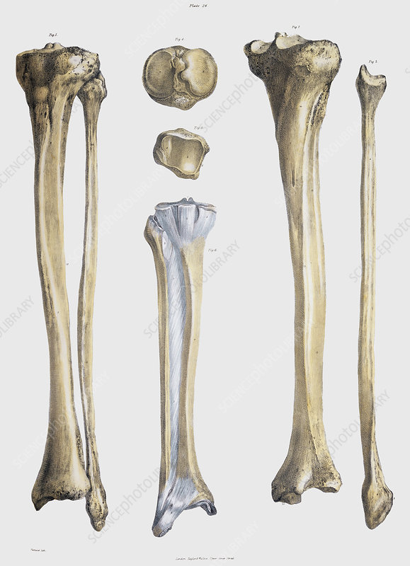 Lower leg bones and ligaments
