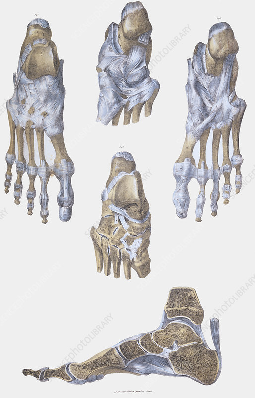 Foot bones and ligaments