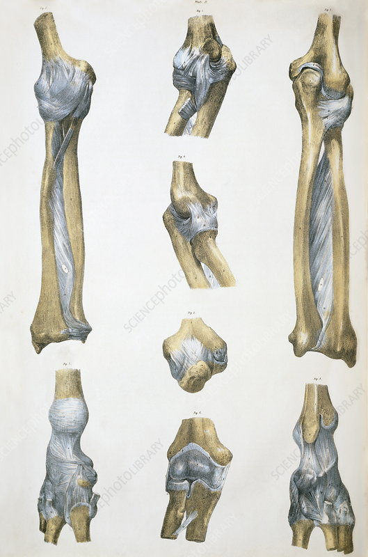 Lower arm bones and ligaments