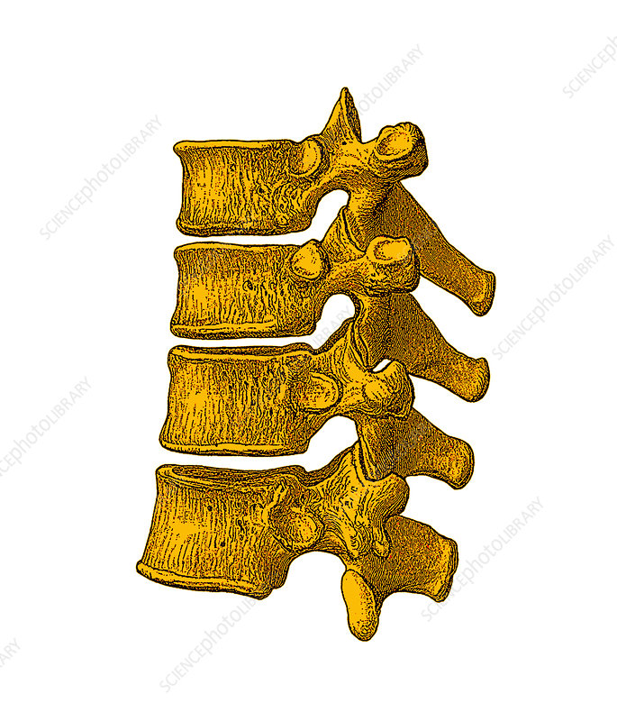 Spinal vertebrae