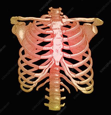 Chest bones