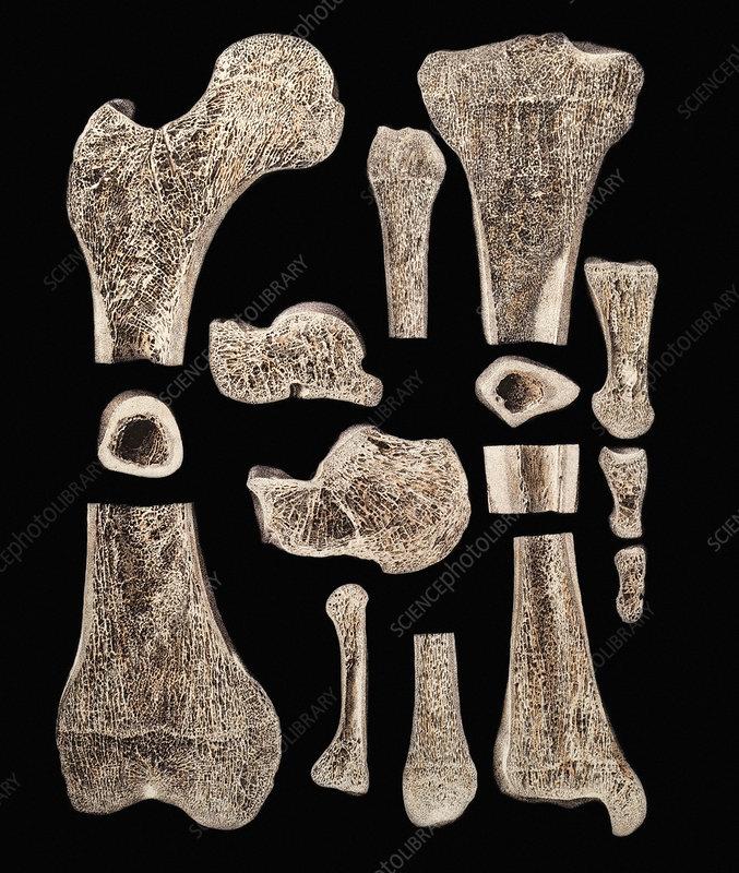 Inner structure of bones