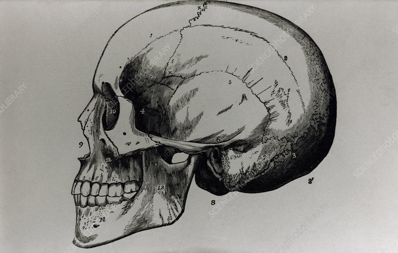 Artwork of a human skull seen from the side