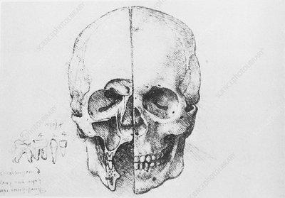 Skull and teeth anatomy