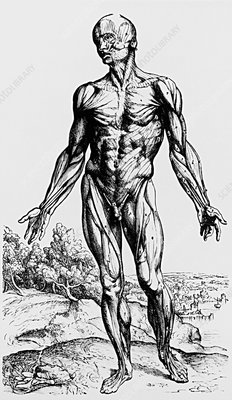 Engraving of muscles from De Humani Corporis Fabri