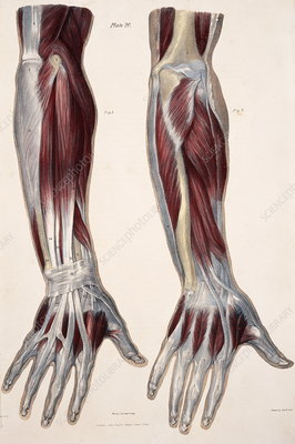 Muscles of the hand and forearm