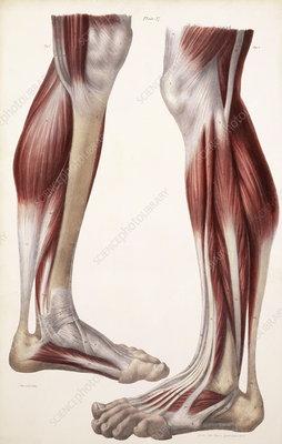 Muscles of lower leg