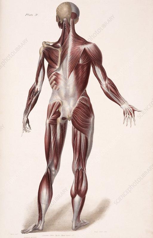 Body musculature